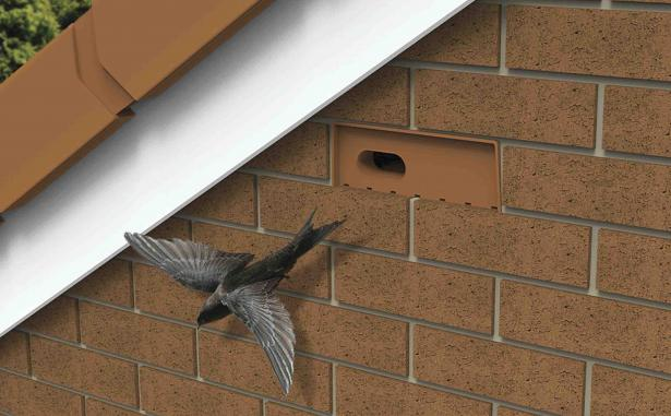 Swift flying out of terracotta swift nesting brick which has been built into the wall high up on the side of a house